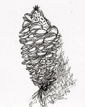 Banksia drawing Pen on Paper